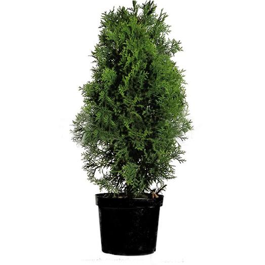Arbusti rasinosi